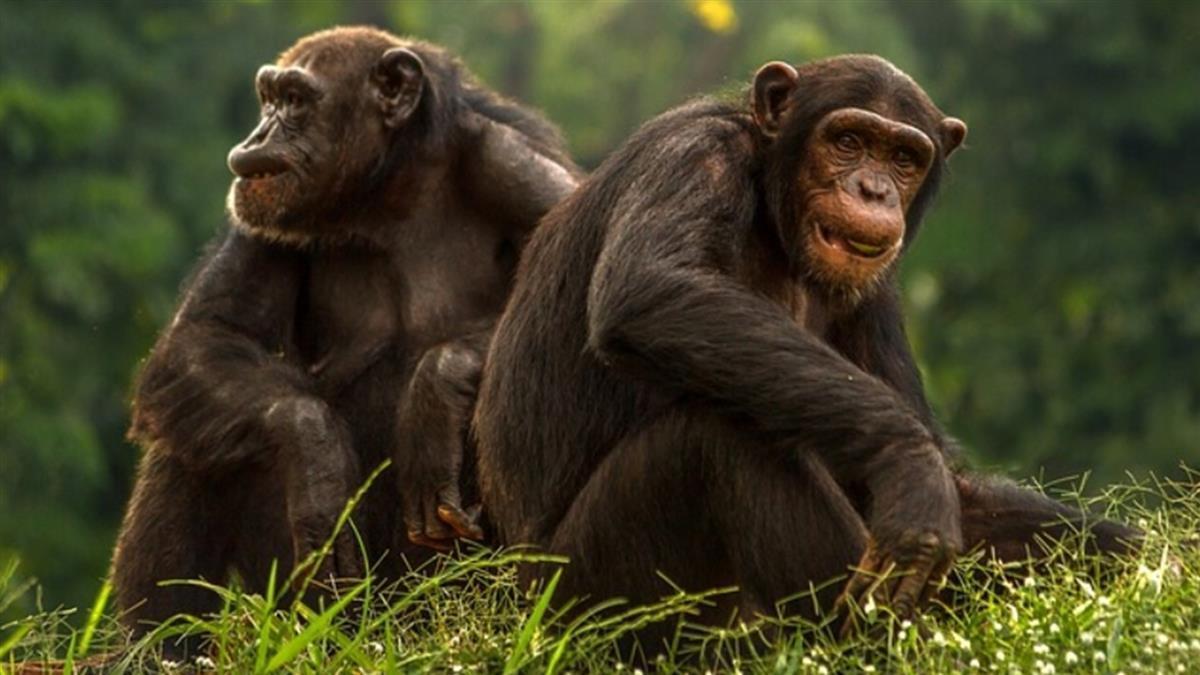 猩球真崛起?黑猩猩操作無人機 破萬人瘋傳
