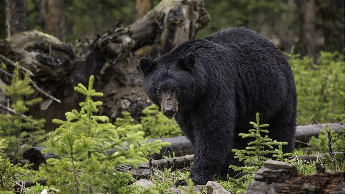 減少熊出沒! 日本幫熊上課教牠們「怕人」