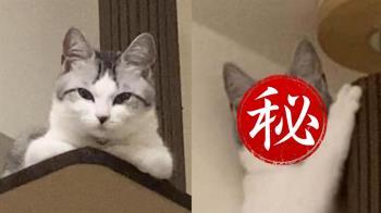 傲嬌貓皇遇地震秒變俗辣 超真實表情笑翻網